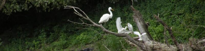 A Kis-Duna madárvilága